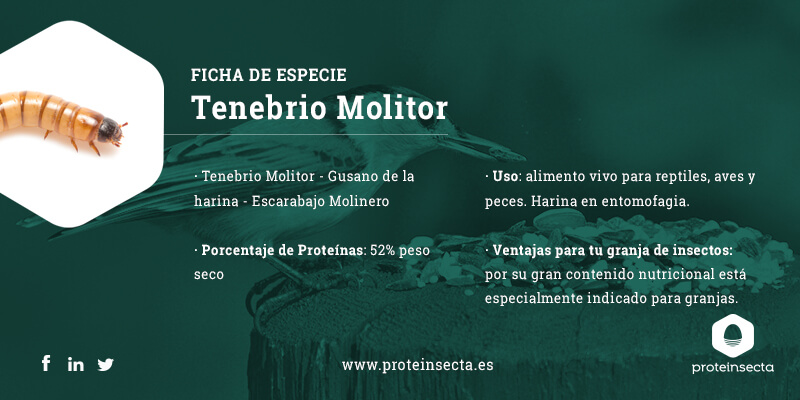 Ficha de especie Tenebrio molitor
